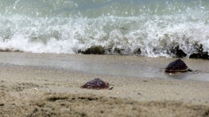 FILE 21 B SAN MARTH ... BABY TORTOISE GOING OUT TO THE SEA DAY ... FROM CAMPING  (64)