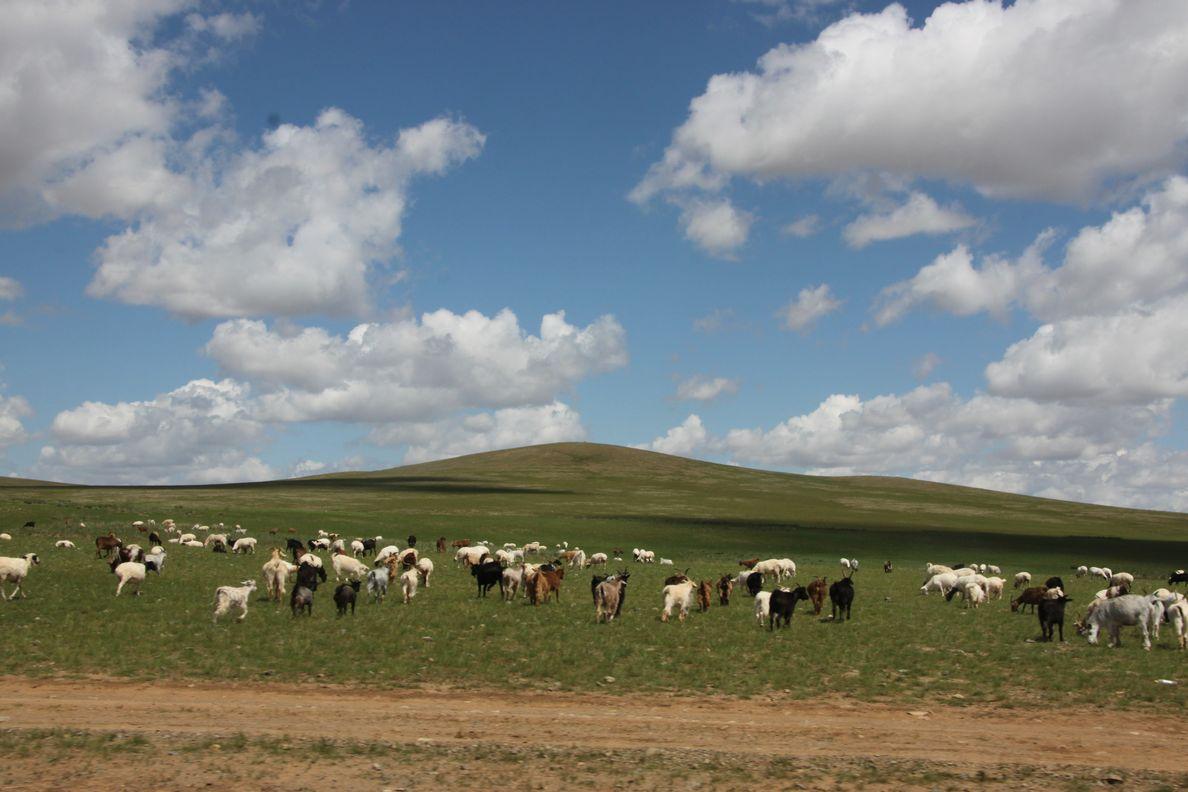 LE CACHEMIRE en MONGOLIE